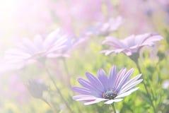 Soft blur Purple African Daisy in garden  Osteospermum Ecklonis Royalty Free Stock Images
