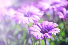 Soft blur Purple African Daisy in garden  Osteospermum Ecklonis Royalty Free Stock Photos