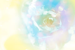 Soft blur rose background Royalty Free Stock Photo