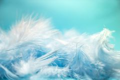 Soft and blur style Pastel blue turquoise colored of chicken feathers on blue background, copy space royalty free stock photos