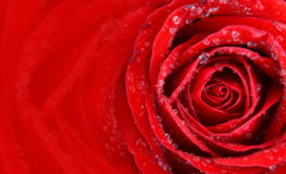 Soft and blur valentine single beautiful rose red space Stock Photo