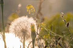 Soft blurred background of a field of yellow flowers and white fluffy dandelion Royalty Free Stock Photos