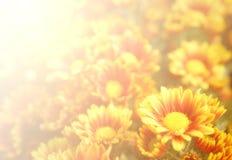 Soft blurred blooming orange yellow Chrysanthemum flowers Royalty Free Stock Photography