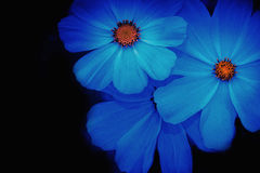 Soft and blurred blue Cosmos Flower Royalty Free Stock Photos