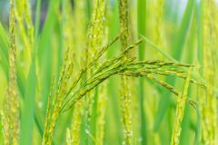 Surface texture pollen of paddy rice, rice paddy flower reproductive stage. The soft blurred and soft focus of surface texture pollen of paddy rice, rice paddy royalty free stock photography
