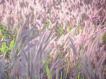 Soft and blurred grass flowers with sunshine Stock Images