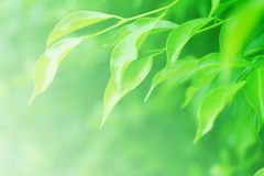 Soft blurred green leaves background