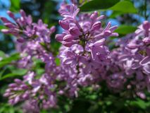 Soft blurred macro focus of pink lilac Syringa microphylla flowers on blurred bush. Spring bloom on a sunny day. Nature concept for design stock images