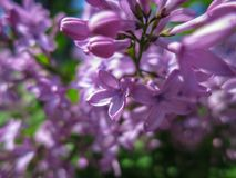 Soft blurred macro focus of pink lilac Syringa microphylla flowers on blurred bush. Spring bloom on a sunny day. Nature concept for design royalty free stock image