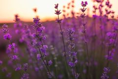 Soft and blurry focus of lavender flowers under the sunrise light. Natural field closeup background in Provence, France. Soft and blurry focus of lavender stock images