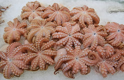 Medium sized octopus on crushed ice on display for sale at fish market. These soft bodied, eight armed mollusc of the order Octopoda were caught in Australian Royalty Free Stock Images