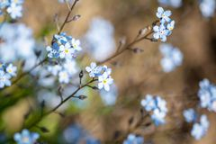 Soft bokeh photo. small blue flowers forget-me-not the field, toning Stock Photo