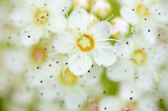 Soft bright blossom Royalty Free Stock Images