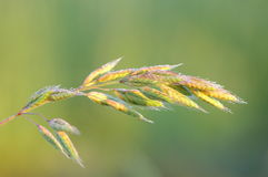 Soft brome culm. With water drops on green background Royalty Free Stock Photo