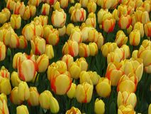 Soft butter yellow tulips edged with red blooming in a park garden. Amazing yellow red striped tulips blooming in a park. Beautiful spring flower in sunny stock photography