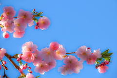 Soft Cherry Blossom against blue sky Royalty Free Stock Image