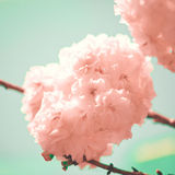 Soft Cherry Blossoms Royalty Free Stock Images