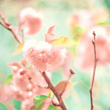 Soft Cherry Blossoms Stock Image