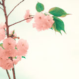 Soft Cherry Blossoms Stock Photography