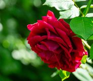 Soft close-up of beautiful big red purple rose in natural sunlight on dark green bokeh background. Rose with many amazing petals. Selective focus. Nature stock photography