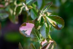 Soft close-up of Euonymus fortunei Interbolwi or fortune`s spindle, winter creeper with green-white leaves on blurred nd bokeh gr. Een with brown background royalty free stock photography