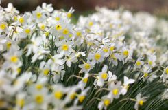 Soft cloud of Narcissi. Shallow focus for this effect; sharp focus one third in top left Royalty Free Stock Image