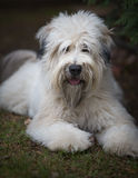 Soft Coated Wheaten-Dog. Nice 2 years old Soft Coated Wheaten having a break on the grass Royalty Free Stock Images