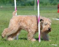Soft-Coated Wheaten Terrier at a Dog Agility Trial. Irish Soft-Coated Wheaten Terrier Weaving Through Poles at a Dog Agility Trial Royalty Free Stock Photos