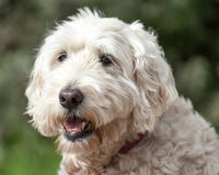 Soft Coated Wheaten Terrier Looking Away Royalty Free Stock Photography