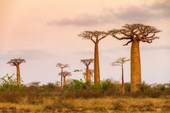 Soft colors baobabs Royalty Free Stock Image
