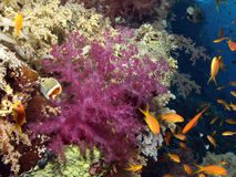 Soft coral. Reef in the red sea Stock Photo