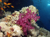 Soft coral. Reef in the red sea Royalty Free Stock Photography