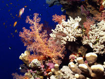 Soft coral. Reef in the red sea Stock Images