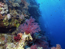 Soft coral. Red Soft coral reef in the red sea Stock Photo