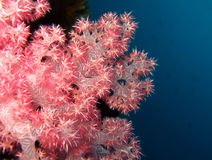 Soft Coral. At Maratua, Borneo, Indonesia Stock Image