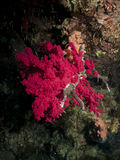 Soft Coral. Royalty Free Stock Photography