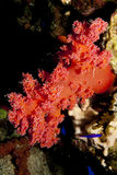 Soft Coral. Stock Images