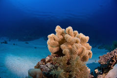 Soft coral. On reef beneath the surface Royalty Free Stock Photos