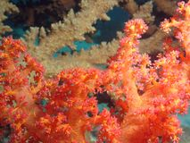 Soft Coral. A close look to a red soft coral, with a fire coral in the background. made with S&S macro lens royalty free stock images