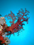 Soft Coral Royalty Free Stock Image