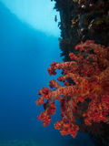 Soft Coral with Blue Water Background Stock Images