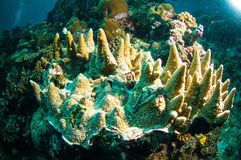 Soft coral bunaken sulawesi indonesia acropora sp. underwater Royalty Free Stock Image