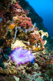 Soft coral bunaken sulawesi indonesia anemone underwater Royalty Free Stock Photos