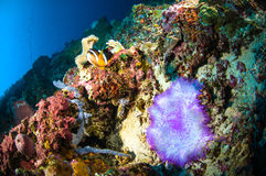 Soft coral bunaken sulawesi indonesia anemone underwater Stock Photography