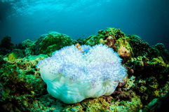 Soft coral bunaken sulawesi indonesia underwater Royalty Free Stock Photo