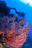 Soft Coral and a Diver in the Caribbean Royalty Free Stock Photos