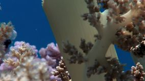 Soft coral on clean blue background underwater Red sea. Colorful world of wild marine nature in beautiful lagoon. Awesome video of wildlife in Egypt stock video