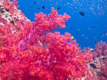 Soft coral Royalty Free Stock Photo