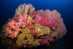 Soft coral colony and more gorgonians on the rock , Similan Mari Royalty Free Stock Photo