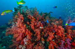 Soft coral colony , Similan island Royalty Free Stock Photos